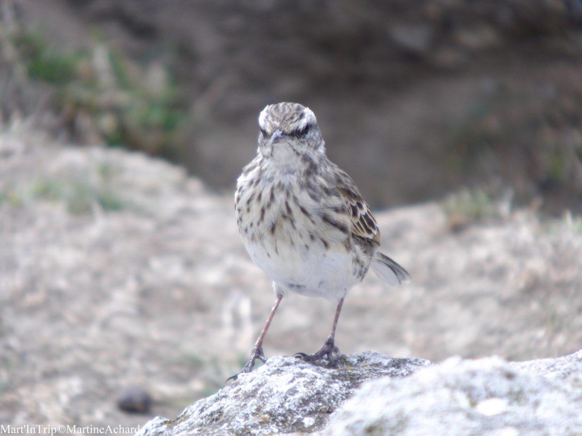 oiseau nouvelle zélande