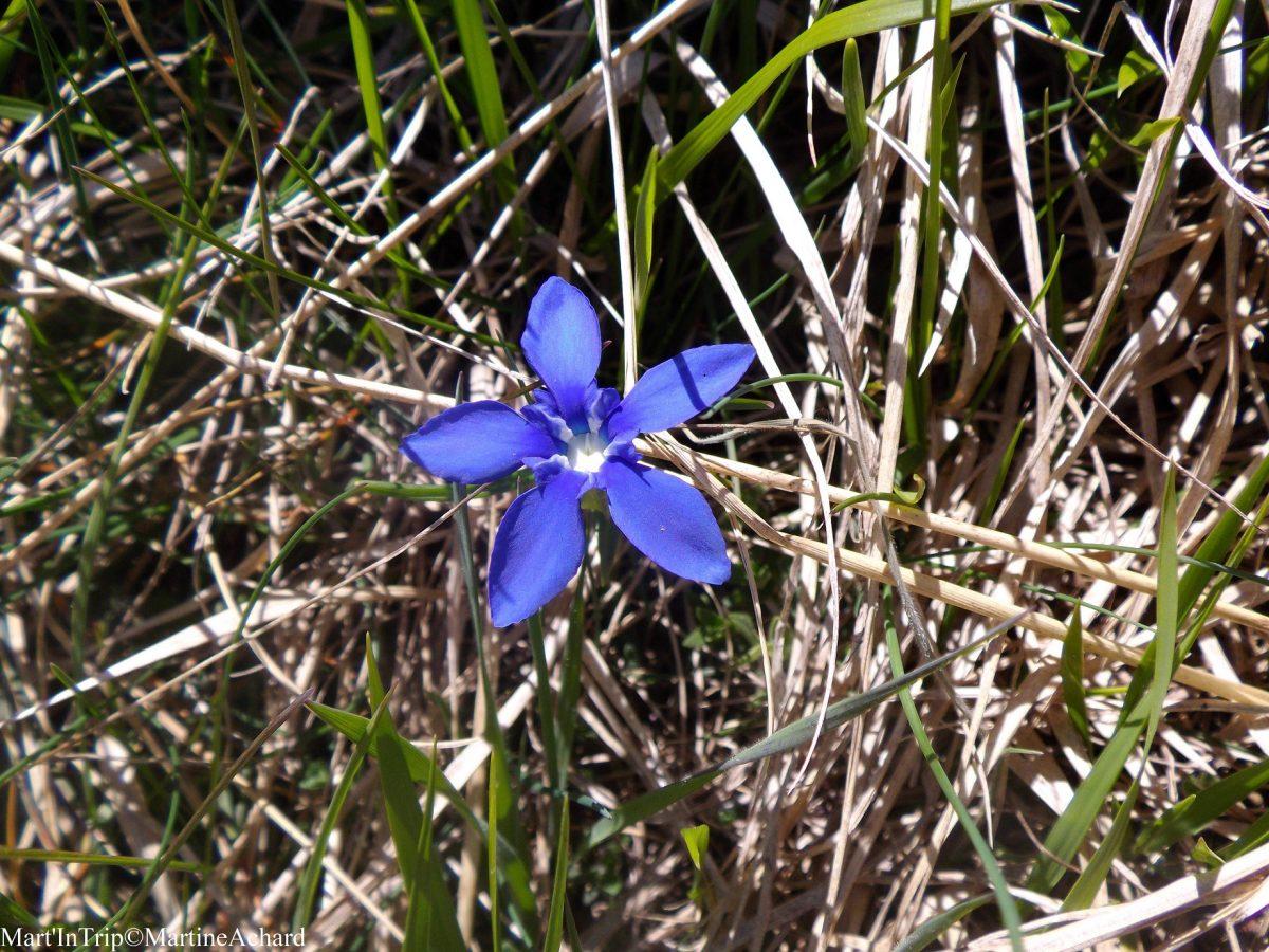 fleur hautes-alpes