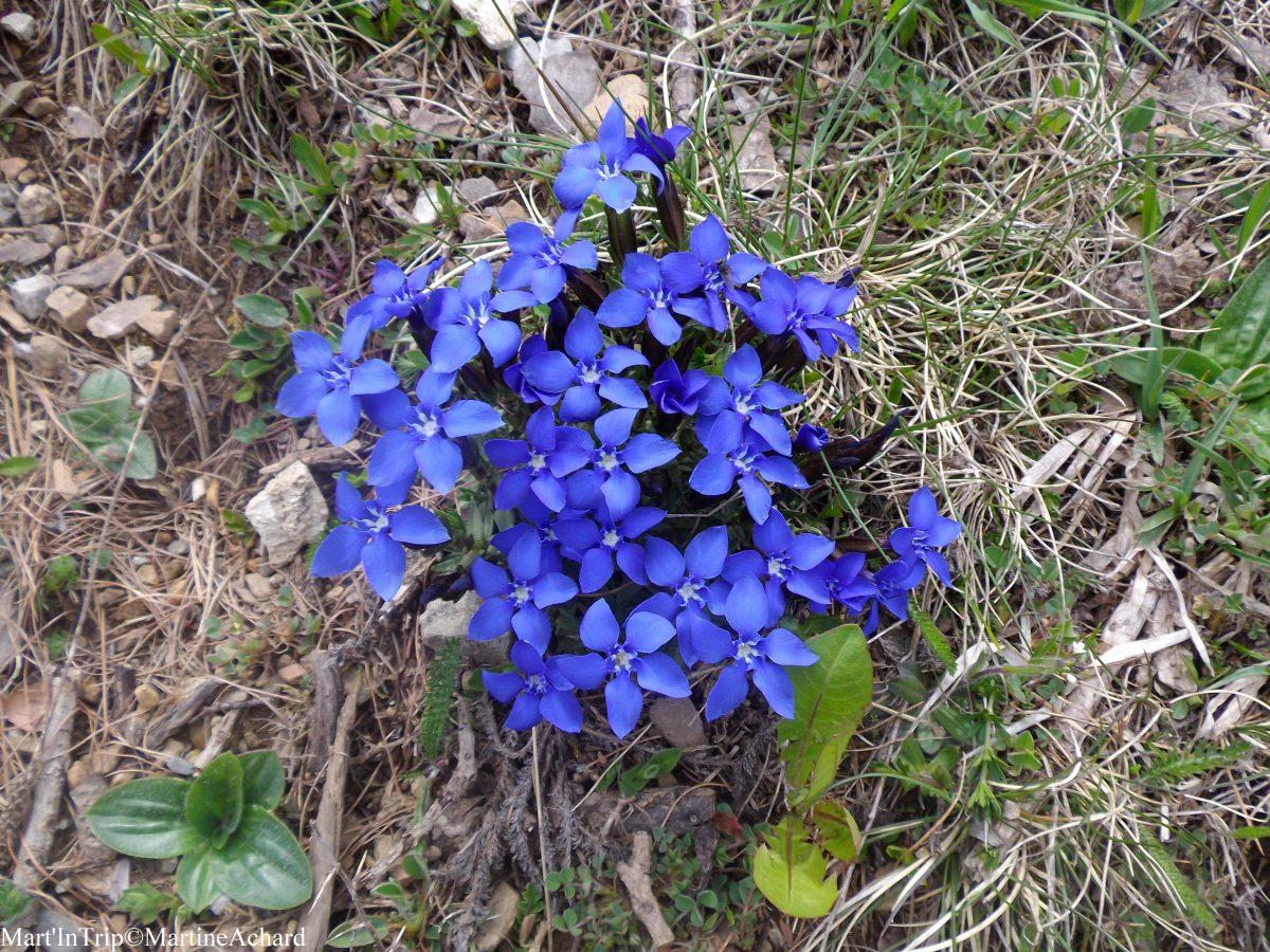 fleurs hautes-alpes